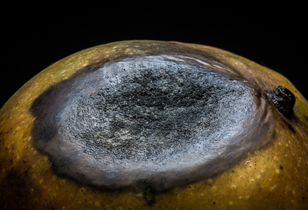 The Portuguese first encountered the mango in South India during the 16th century and later brought it to West Africa. From there, mango and other exotic fruits like the banana were brought to the Americas via the same route as African slaves.