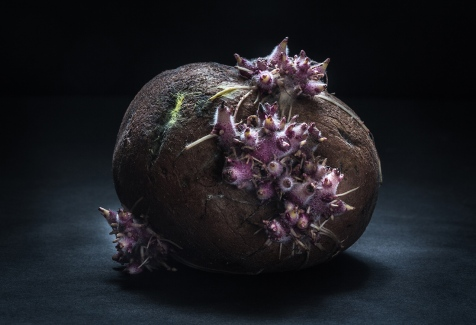 The Spanish discovered the potato in Colombia in 1537 and brought it to Spain shortly afterwards. At first, Europeans didn't want anything to do with this newcomer, but warmed up to it after royal and governmental interference.